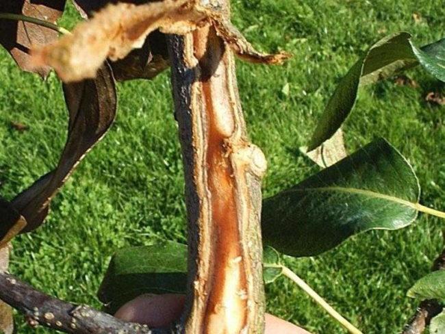 Срез коры на ветке яблони, заболевшей бактериальным ожогом