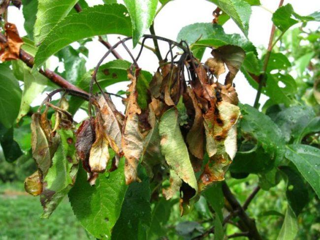Скрученные и потемневшие листья яблони на ветке при заражении дерева бактериозом