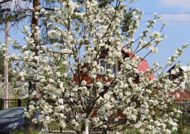 Белые цветки на ветках молодой яблони в плодовом саду загородного участка