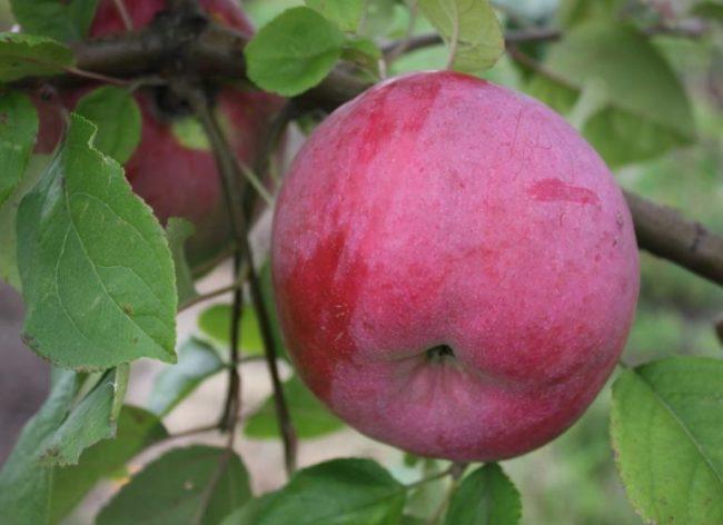 Крупное яблоко сорта Брянское алое с восковым налетом на кожице