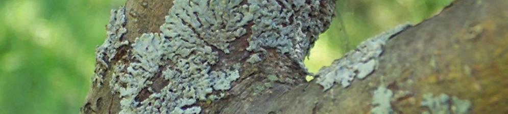 Чёрный рак на стволе дерева яблони