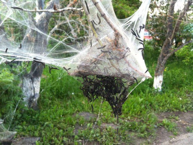 Черные гусеницы в гнезде из паутины на ветках яблоневого дерева
