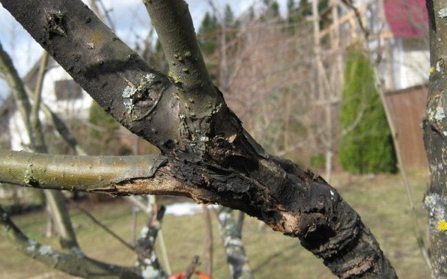 Ствол яблони с явными признаками заражения дерева черным раком