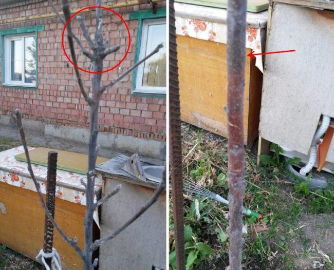 Изменение окраса коры на подмерзшей макушке колоновидной яблони