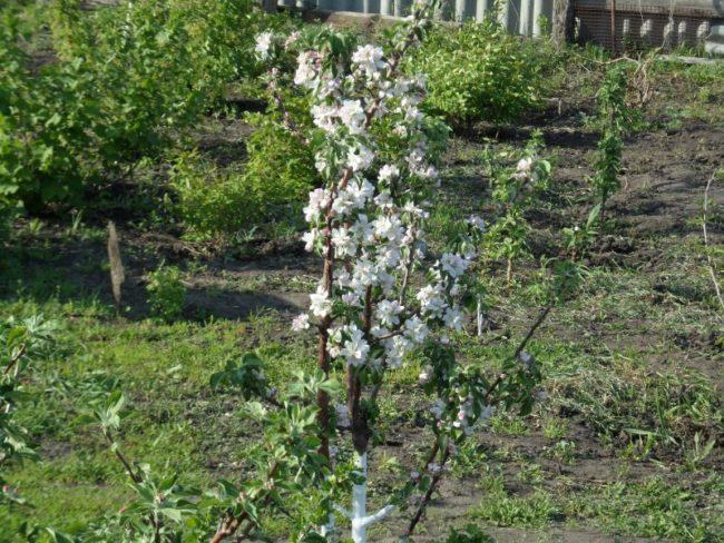 Цветение деревца яблони сорта Валюта отечественной селекции