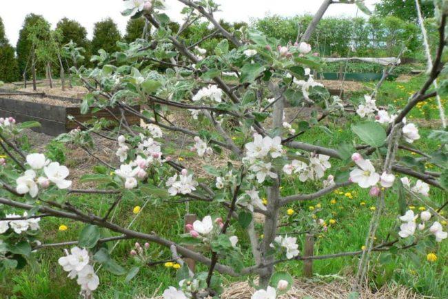 Небольшое деревце яблони с распустившимися белыми цветками