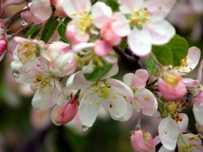 Розово-белые цветки яблони сорта Грушовка Московская вблизи