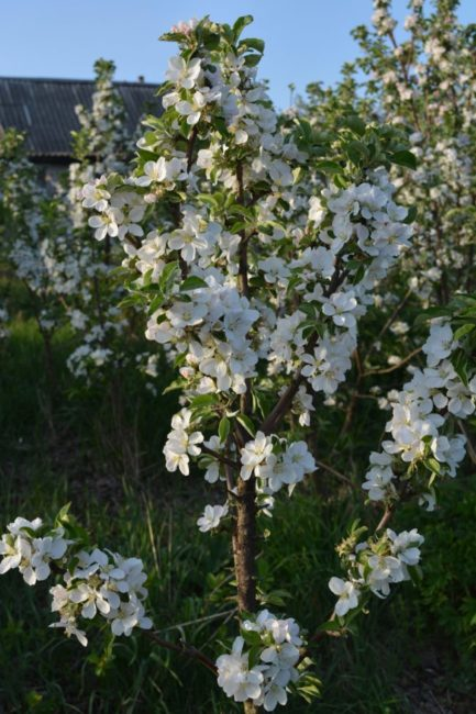 Цветение колоновидной яблони отечественного сорта Медок в частном саду