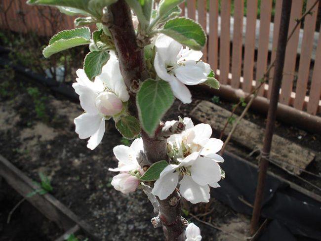 Крупные цветки белого окраса на центральном стволе колоновидной яблони