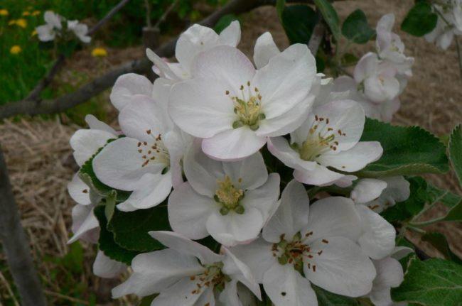 Цветки яблони сорта Медуница крупным планом перед проведением нормирования