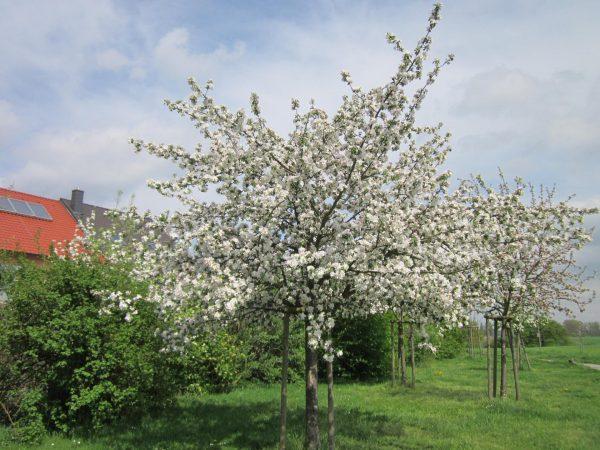 Цветение яблонь разного сорта на одном садовом участке