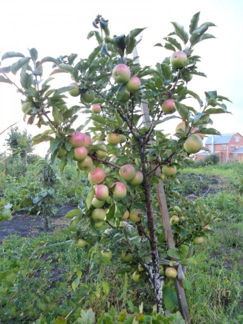 Небольшое деревце яблони отечественного сорта Валюта колоновидного типа