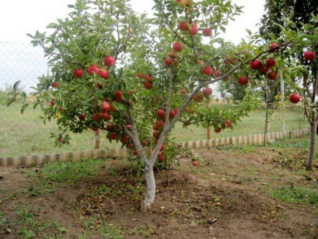 Невысокое деревце яблони с красными плодами в подмосковном частном саду