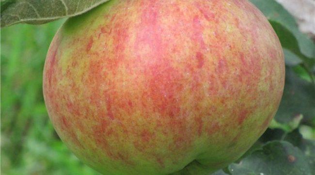 Розово-красные полоски на зеленой кожице яблока сорта Дочь Вагнера