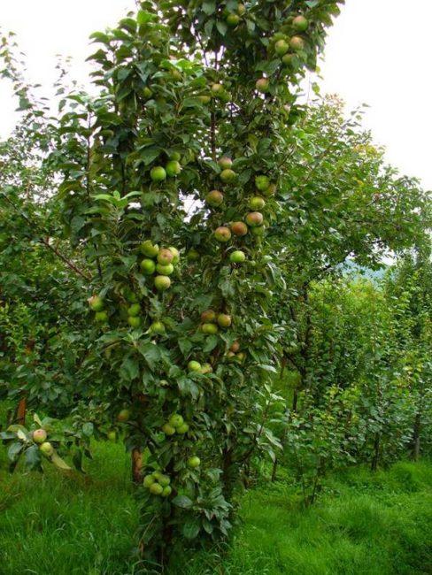Высокое деревце яблони колоновидного типа с зелеными плодами