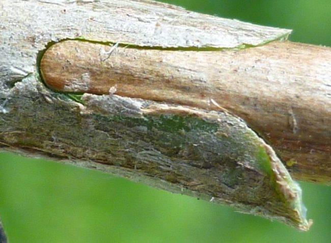 Место прививки яблоневого черенка окулировкой с использованием специального секатора
