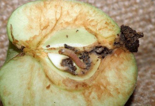 Срез яблока с гусеницей плодожорки крупным планом