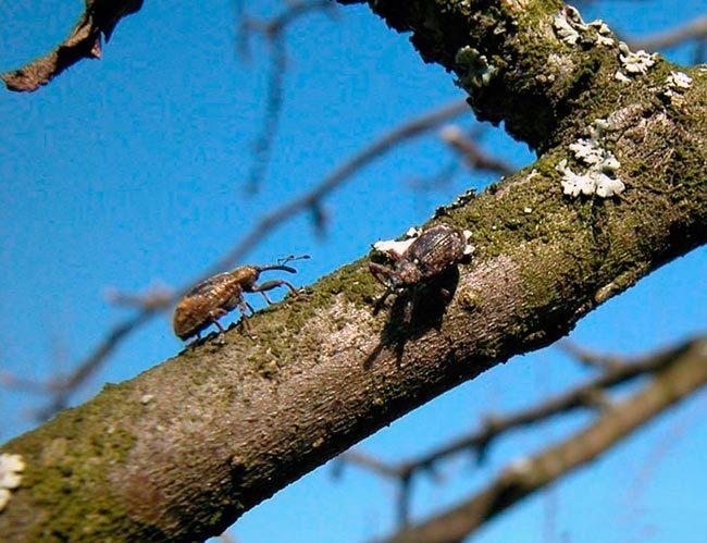 Взрослые особи жука-цветоеда на ветке старой яблони ранней весной
