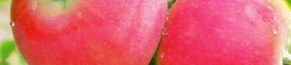 Два поспевающих на дереве плода яблони сорта Розовый Жемчуг