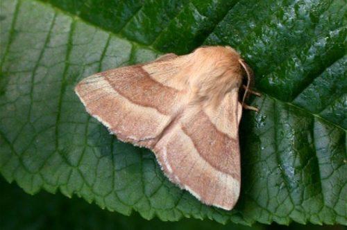 Серо-коричневая бабочка шелкопряда кольчатого на листе яблони