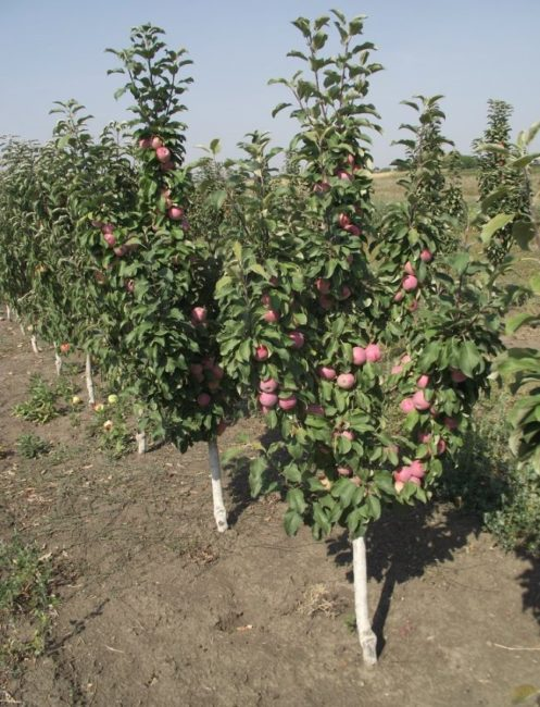 Посадки колоновидных яблонь на территории фермерского хозяйства