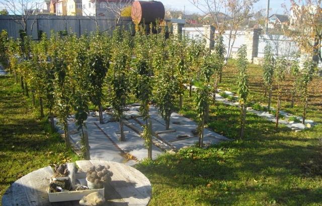 Компактный плодовый сад из колоновидных яблонь на дачном участке