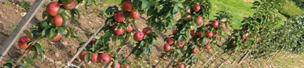 Колоновидные яблони на участке начало созревания на них плодов