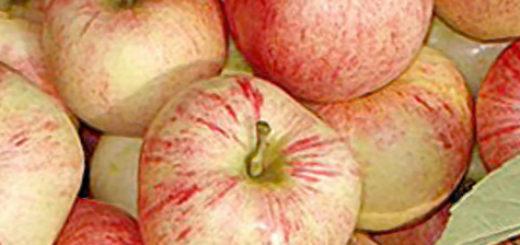 Спелые плоды яблок Конфетное в корзинке