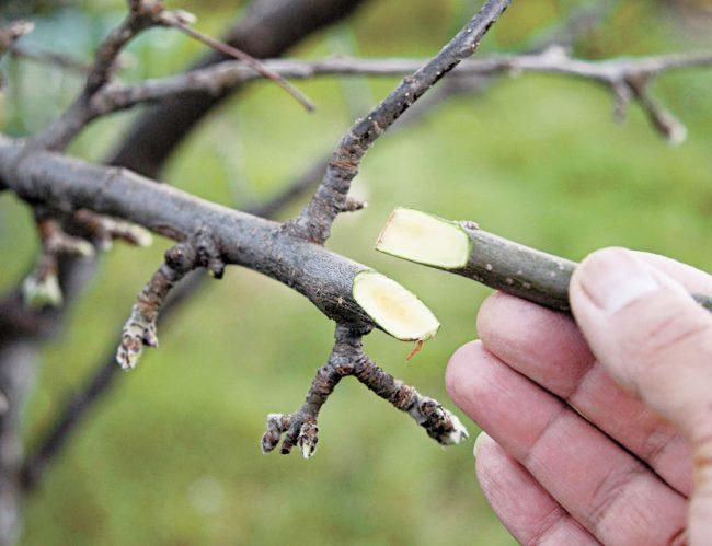Срезы на подвое и привое яблони при проведении прививки методом простой копулировки