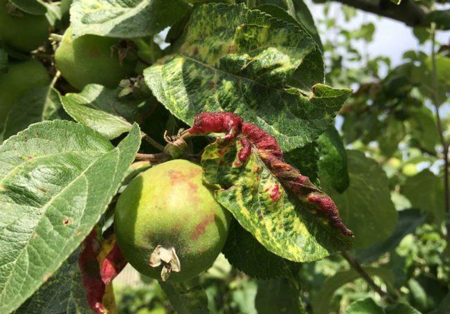 Бугристые вздутия на листьях яблони при поражении растения красногалловой тлей