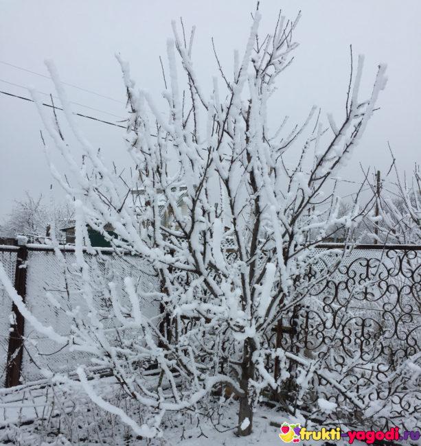 Крона яблони в снегу и всё дерево в холодную снежную зиму