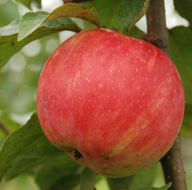 Крупный плод гибридного сорта яблони Услада на ветке дерева