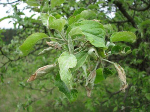 Видимые признаки нападения на яблоню гусениц бабочки листовертки