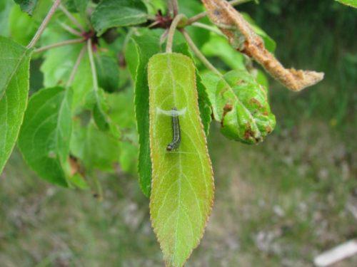 Гусеница бабочки листовертки складывает с помощью паутинки листок яблони