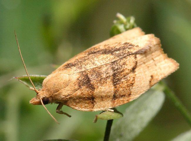 Взрослая особь бабочки листовертки с серо-коричневыми крыльями