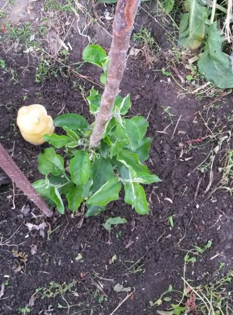 Зеленые листья в прикорневой части ствола колоновидной яблони с замерзшей верхушкой