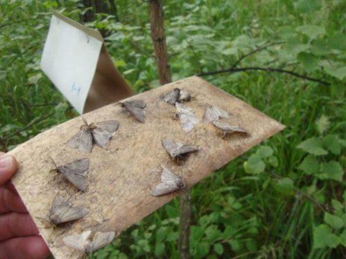 Самодельная ловушка для бабочки листовертки из картона
