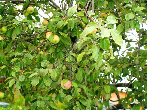 Небольшое количество яблок на взрослом дереве в начале августа сорт Грушовка
