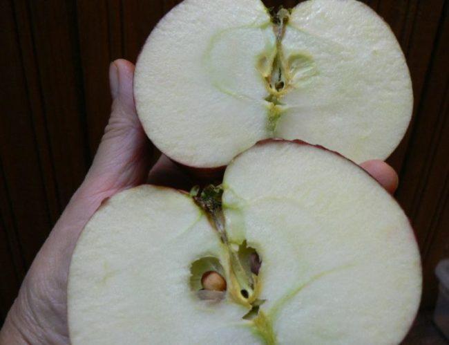 Разрез плода яблока гибридного сорта Медуница с белой мякотью