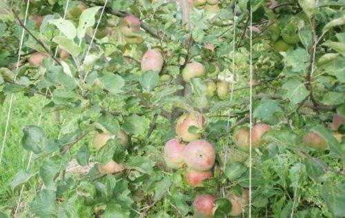 Розовато-зеленые плоды яблони сорта Медуница в середине августа