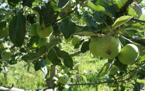 Внешний вид зеленых яблок сорта Медуница в середине июля
