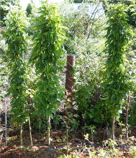 Три колоновидные яблоньки на солнечном месте вдоль сетки рабицы