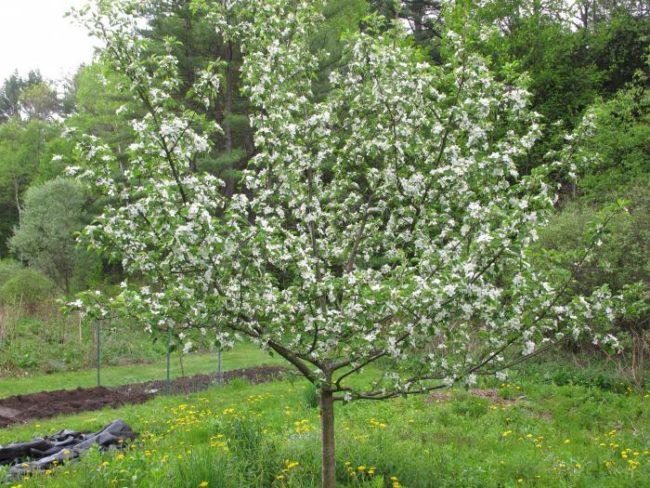 Дерево яблони с ветками, усыпанными белыми цветками