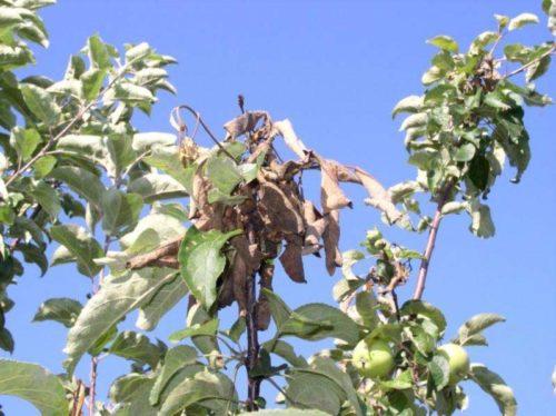 Сухие скрученные листья яблони при поражении дерева монилиозом