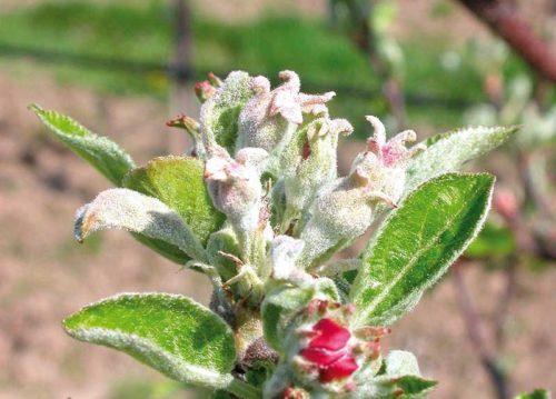 Завязи плодов яблони с признаками поражения мучнистой росой