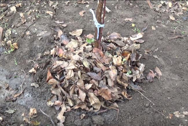 Мульчирование саженца яблони опавшими листьями сразу после посадки