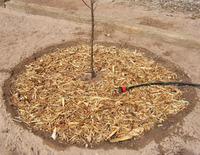 Мульчирование древесной щепой саженца яблони при посадке