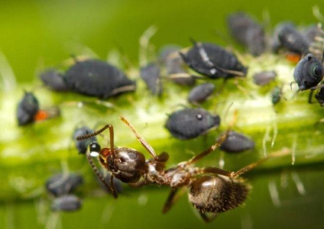 Коричневый муравей питается сладким соком, выделяемым черной тлей