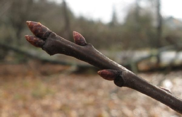 Ветка яблони с набухающими ранней весной плодовыми почками