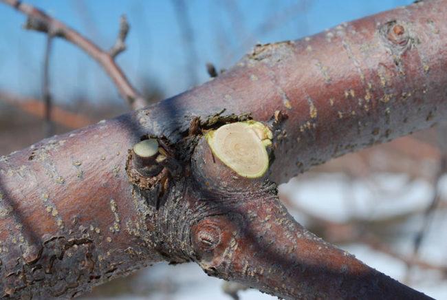 Удаление лишних веток яблони около надлома после снежной зимы